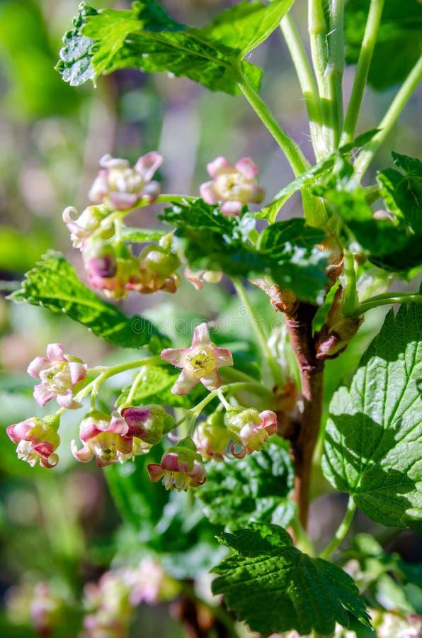 Vinbärblommanärbild arkivfoto