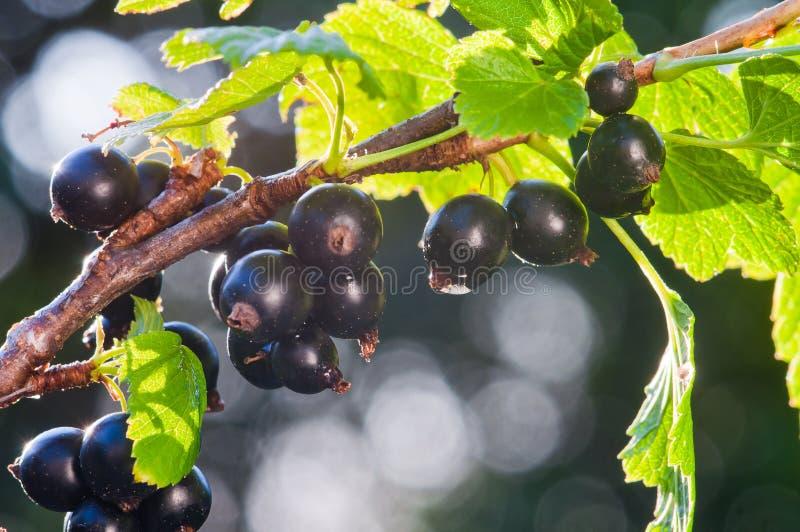 vinb?r Nya organiska bär av den svarta vinbäret växer på filialen arkivfoto