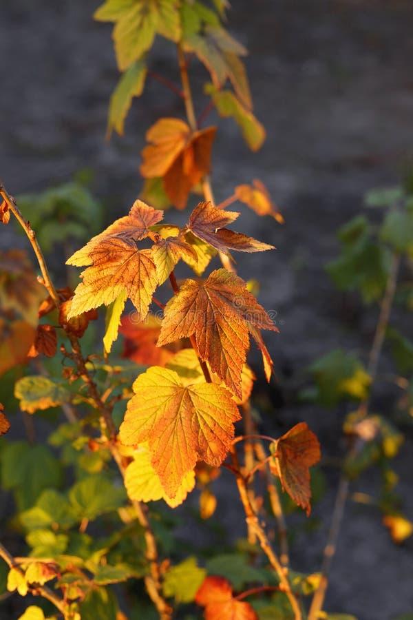 Vinb?rbuske med ljus gul l?vverk royaltyfri fotografi