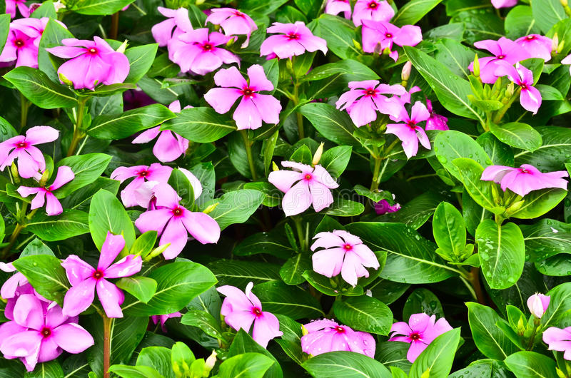 Vinca flower. Blooming on light morning royalty free stock photography