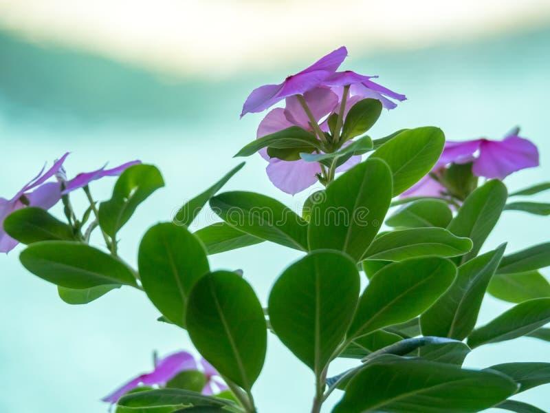 Vinca i lågt ljus i en Balineseträdgård royaltyfri foto