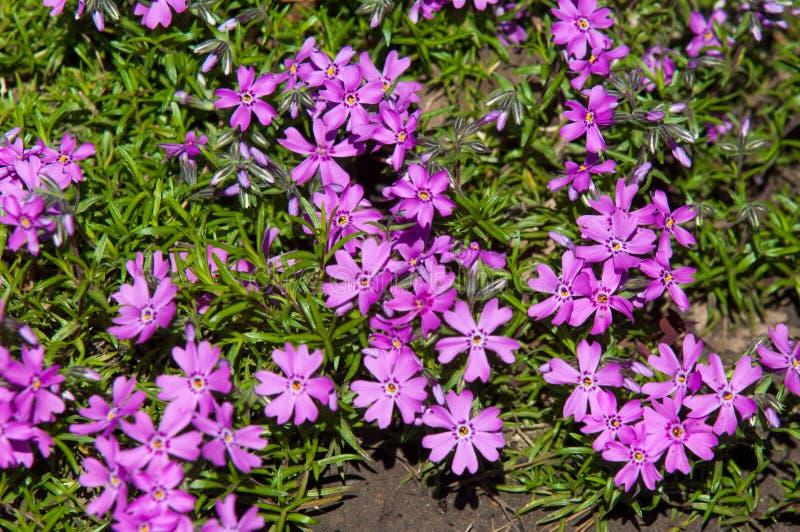 Vinca Latin: vincire om te binden, belemmer is een soort van het bloeien p royalty-vrije stock afbeeldingen