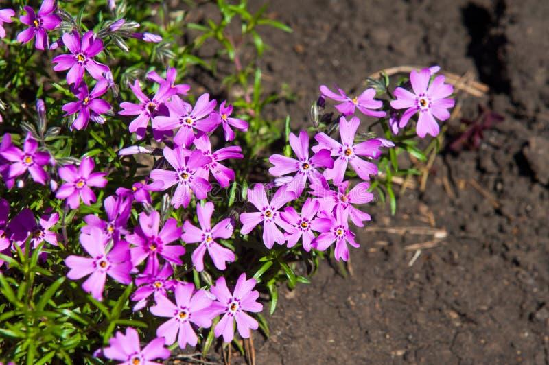 Vinca Latin: vincire om te binden, belemmer is een soort van het bloeien p stock afbeelding