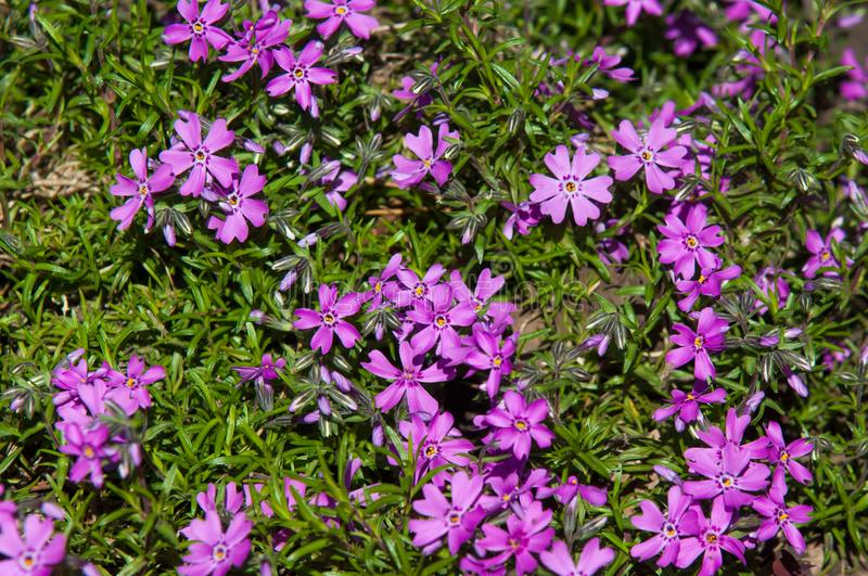 Vinca Latin: vincire to bind, fetter. is a genus of flowering p. Lants in the family Apocynaceae royalty free stock photos