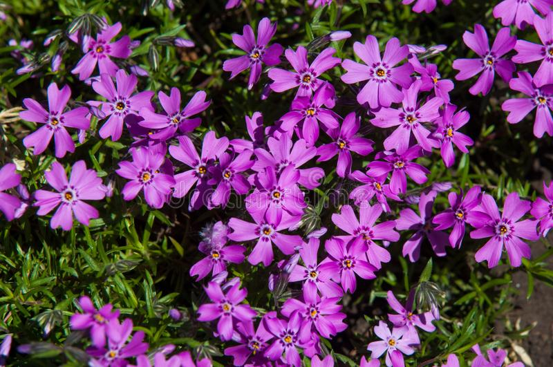 Vinca Latin: vincire to bind, fetter. is a genus of flowering p. Lants in the family Apocynaceae stock photo