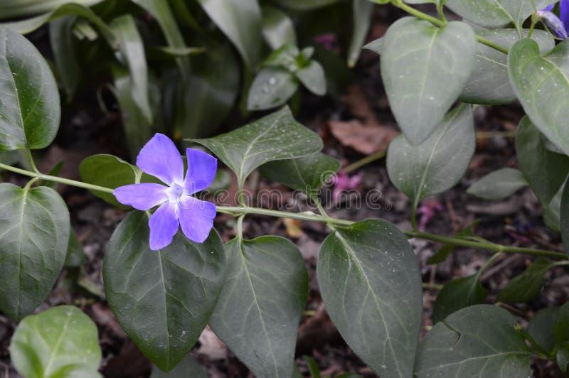 Vinca major - dark leaves. Vinca major Variegata - bigleaf periwinkle with beautiful deep blue flowers royalty free stock photo