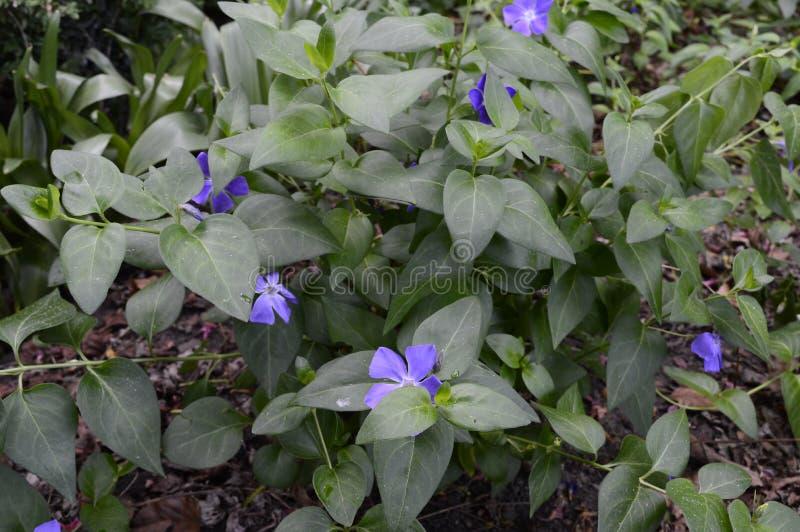 Vinca major - dark leaves. Vinca major Variegata - bigleaf periwinkle with beautiful deep blue flowers stock images