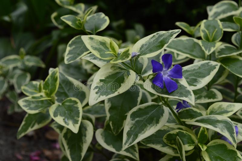 Vinca major Variegata. Bigleaf periwinkle with beautiful deep blue flowers and white marked leaves royalty free stock photos