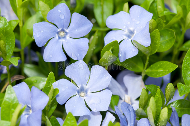 Vinca minor. With dew closeup flowers royalty free stock photos
