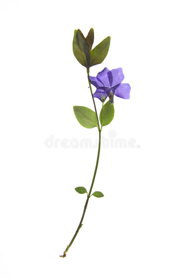 Vinca minor. On a white background stock images