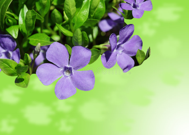 Vinca Minor. Periwinkle in bloom against a green background royalty free stock photography