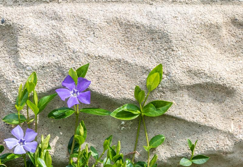Vinca minor in bloom growing up a cement wall. Vinca minor, also known as periwinkle or creeping myrtle, blooms against a cinder block wall royalty free stock photography