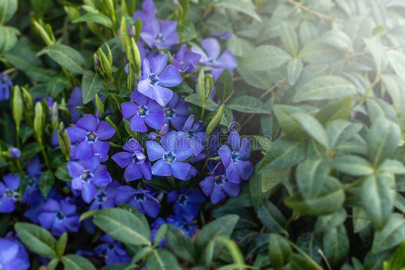Vinca minor. Vinca minor. Blue spring flowers. Periwinkle plant with flowers. Blue spring flowers. April in Poland. Vinca minor royalty free stock photos