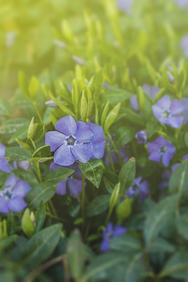 Vinca minor. Blue spring flowers. Periwinkle plant with flowers. Blue spring flowers. April in Poland. Vinca minor stock photo
