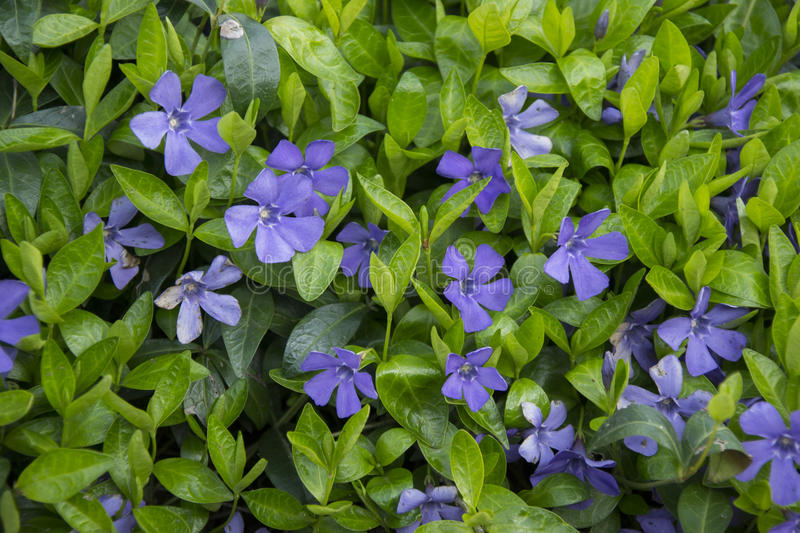 Vinca minor. Common Periwinkle, blue flower royalty free stock photo