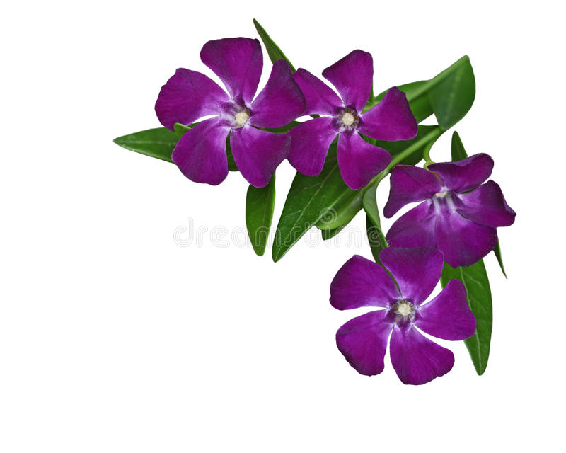 Vinca Minor Flower. Vinca Minor perwinkle Flower isolated on white background royalty free stock photo