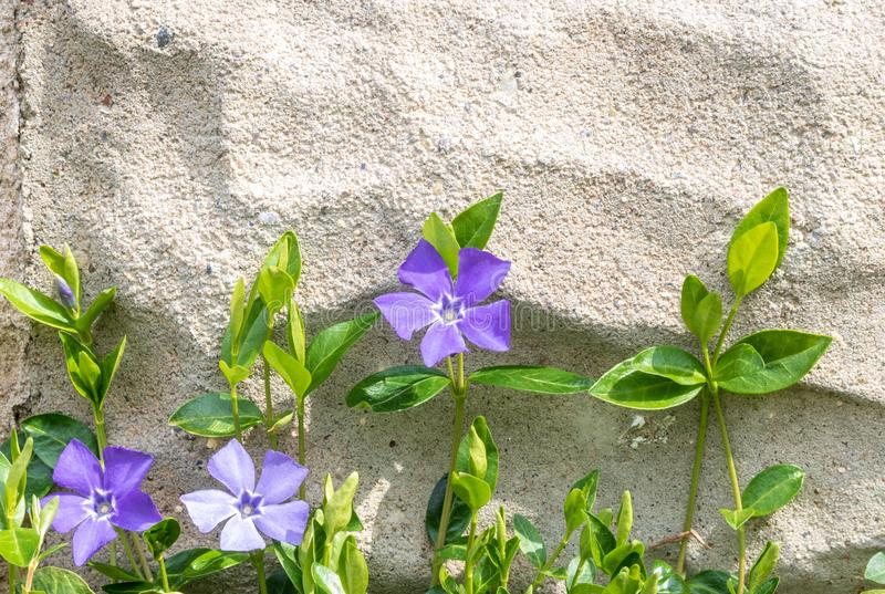 Vinca minor growing up a cement wall. Vinca minor, also known as periwinkle or creeping myrtle, blooms against a cinder block wall royalty free stock images