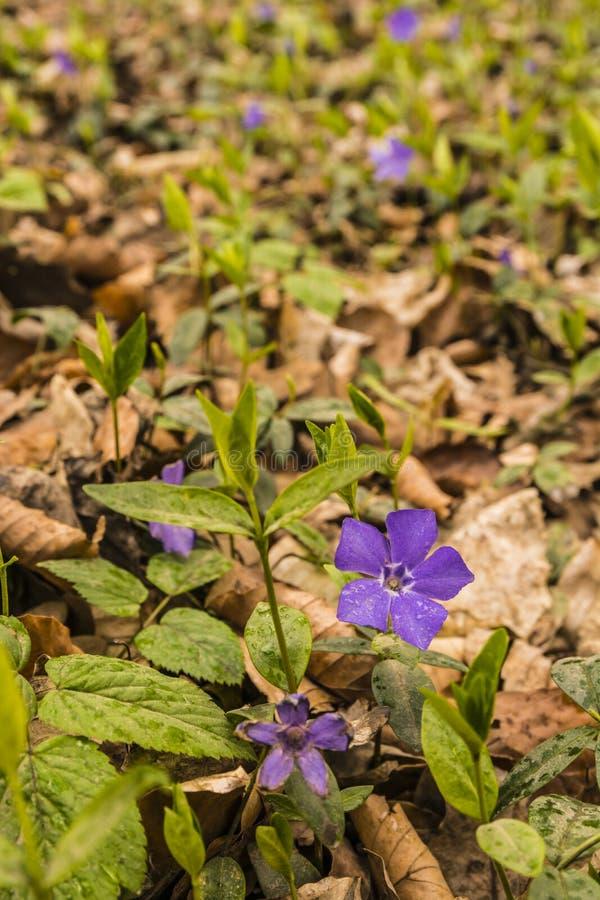 Vinca minor L. Flower - Vinca minor, lesser periwinkle, dwarf periwinkle stock image