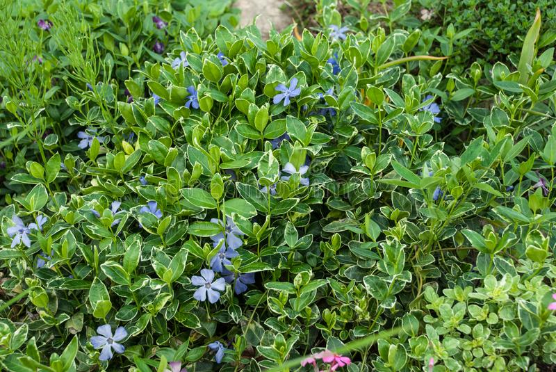 Vinca minor lesser periwinkle or dwarf periwinkle. Subshrub in the garden. Europe, Latvia royalty free stock image