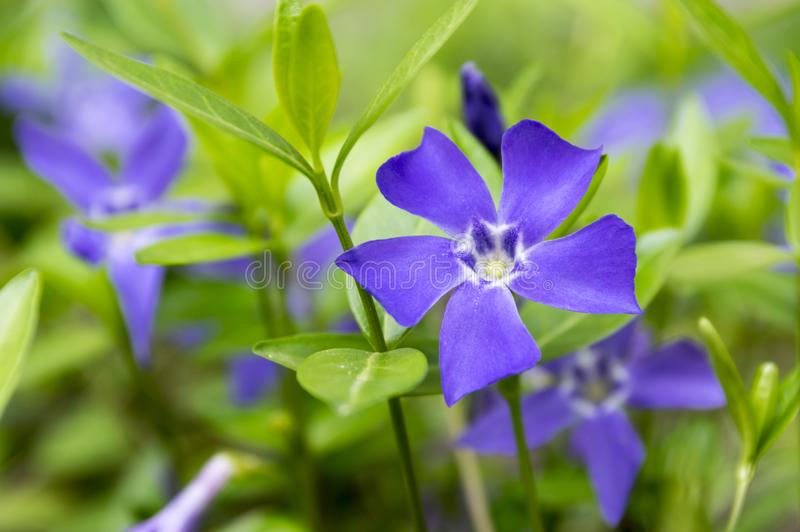 Vinca minor lesser periwinkle flower, common periwinkle in bloom, ornamental creeping flowers. Blue petals, green leaves, sunlight royalty free stock images