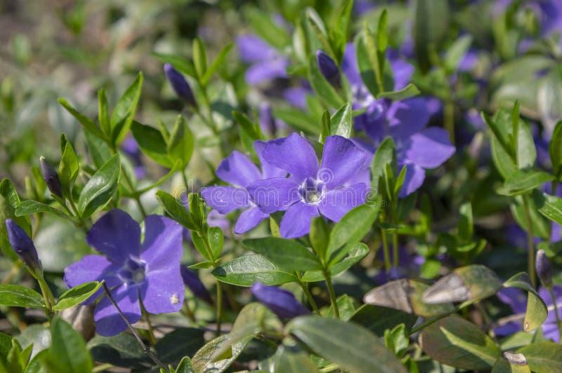 Vinca minor lesser periwinkle flowering ornamental flowers, common periwinkle creeping plant in bloom, green leaves. Springtime sunlight royalty free stock images