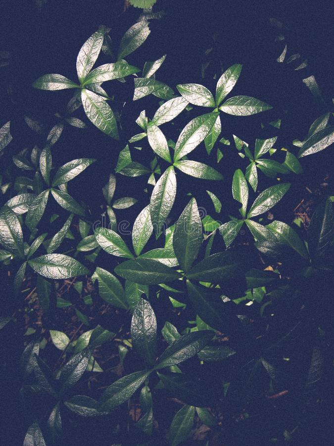 Vinca minor or Lesser Periwinkle grows equally in wild forest.  stock images