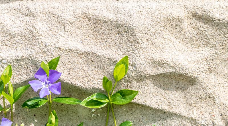 Vinca minor with one flower grows up a cement wall. Vinca minor, also known as periwinkle or creeping myrtle, blooms against a cinder block wall stock images