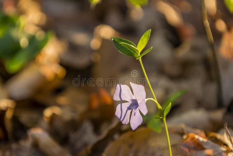 Vinca minor. Spring is in the air - vinca minor stock image