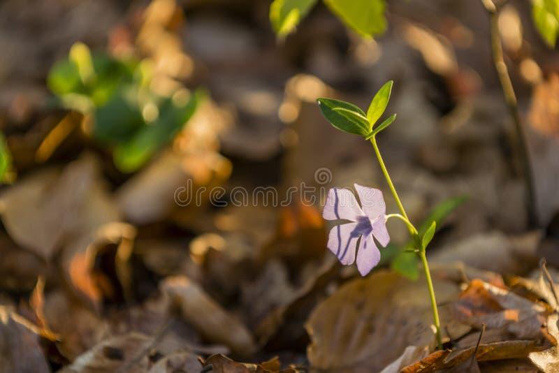 Vinca minor. Spring is in the air - vinca minor stock photos