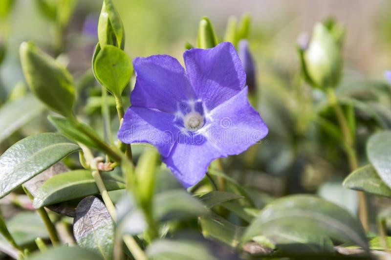 Vinca nieletni lesser barwinka kwiat, pospolity barwinek w kwiacie, ornamentacyjny cierpnięcie kwitnie zdjęcie stock