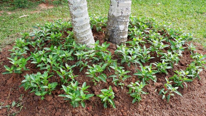 Vinca plant. Plant Vinca flower in the garden royalty free stock photo