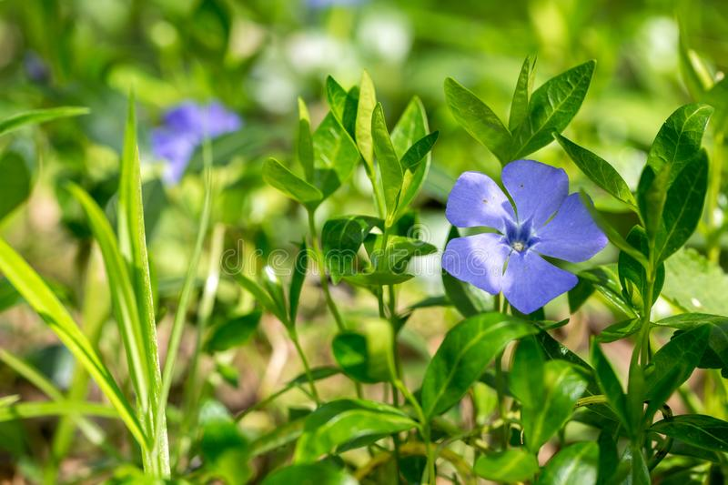 Vinca in the spring park. Blooming blue vinca in the spring park stock photo