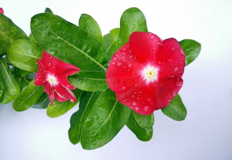 Vinca on white background with raindrops stock images