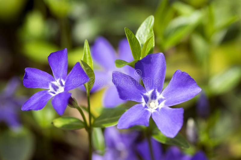 Vincaminderåriget lesser vintergrönablomma, gemensam vintergröna i blom, dekorativt krypa blommar royaltyfria bilder
