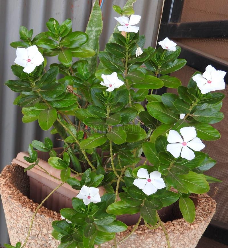 Vincas brancos de florescência em pasta imagem de stock royalty free