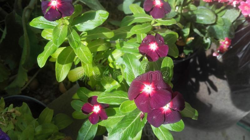 Vincas, Periwinkle from Madagascar - Vinca rosea, Catharanthus teresitas,. Good afternoon are the names of this beautiful plant, which adorns my garden with its stock image