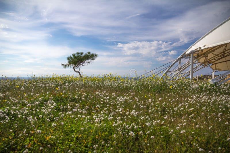 Vind-blåste barrträd och vildblommor nära Hagar Qim, Malta arkivfoton
