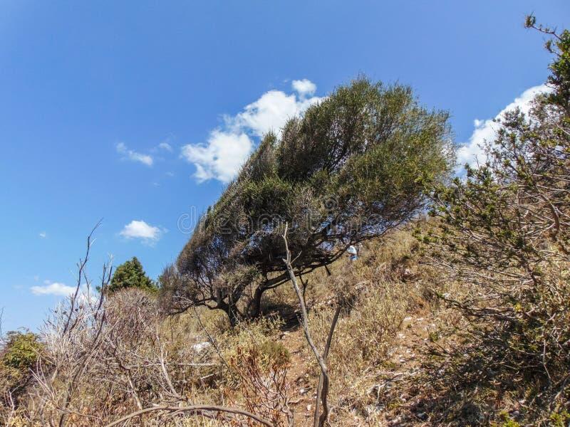 Vind-format träd fotografering för bildbyråer