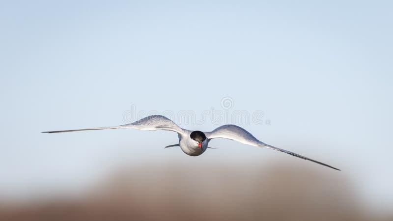 Vind under mina vingar gemensam flygtärna royaltyfri foto