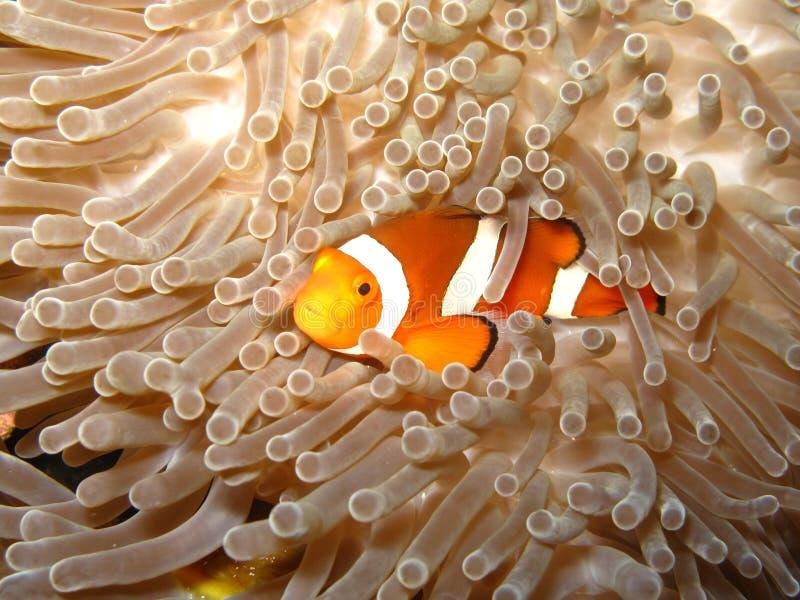 Vindend Nemo Clownfish stock foto's