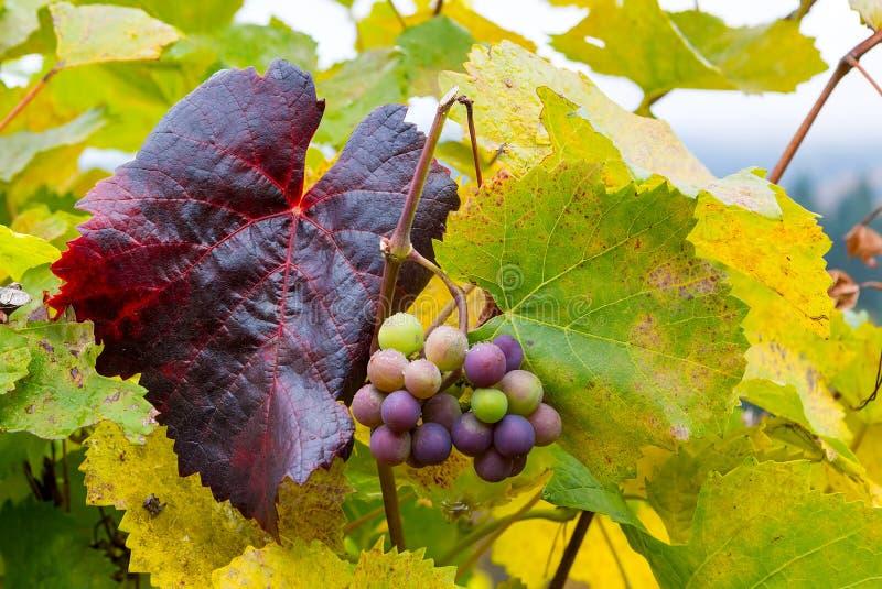 Vindruvor på vinrankor i nedgångsäsongen Oregon USA royaltyfria foton