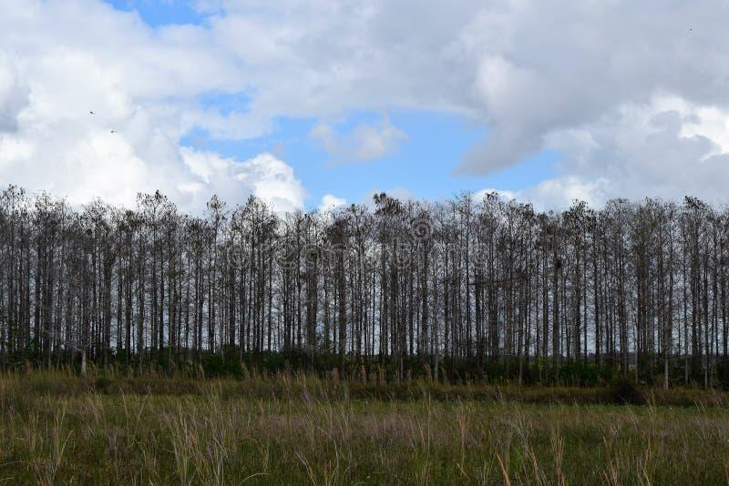 Vindskydd av träd på Loxahatchee den nationella djurlivfristaden arkivfoton