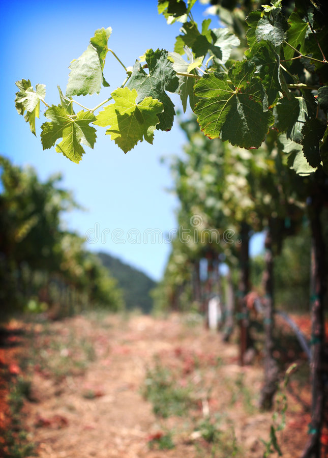 Of the Vine royalty free stock photo