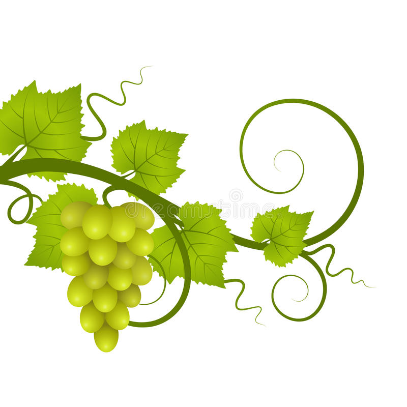 Vine. A vine with a bunch of grapes stock illustration