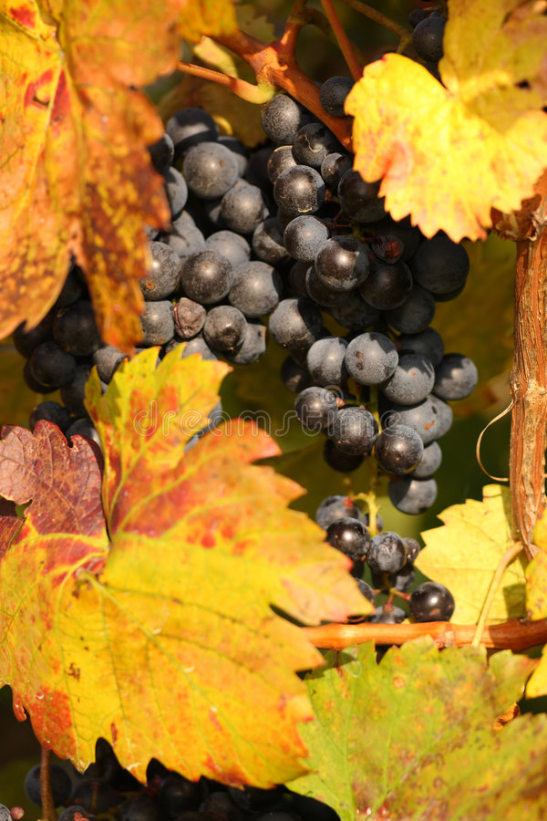 Free Vine Stock Photography - 7102122