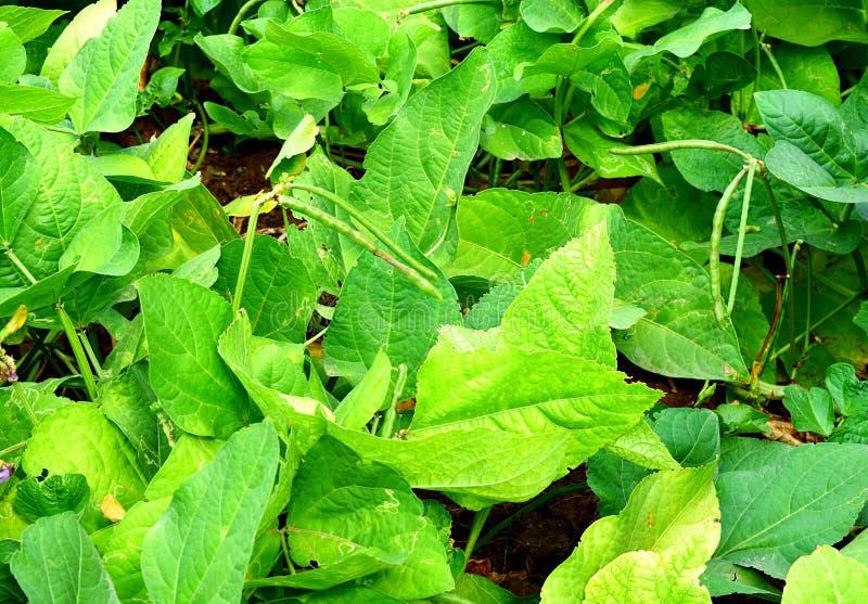 Vine of Asparagus Bean - Yard Long Bean - Vigna Unguiculata royalty free stock image