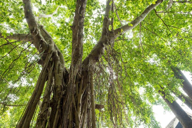 Vine on the big tree royalty free stock image