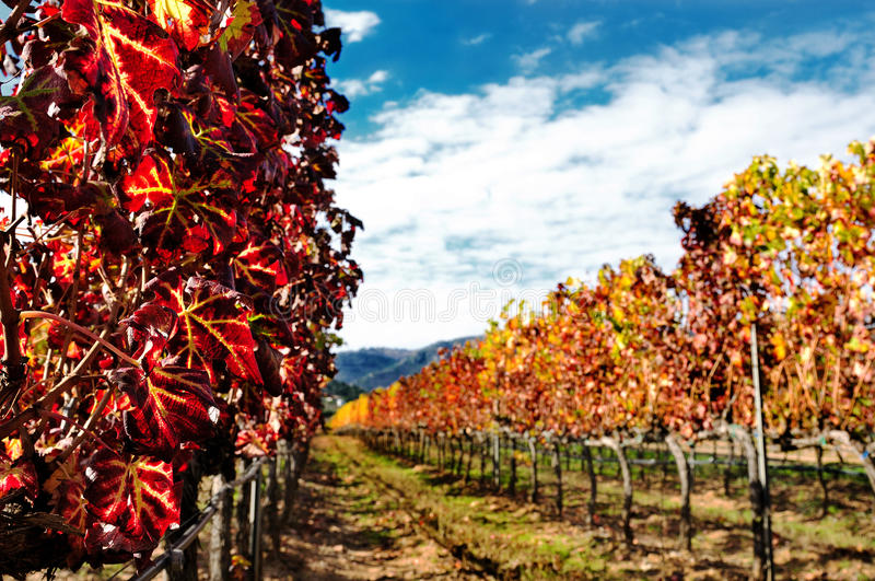 The vine with the colors of autumn. Details of vineyards, rows of vines young and old with the colors of autumn royalty free stock photography