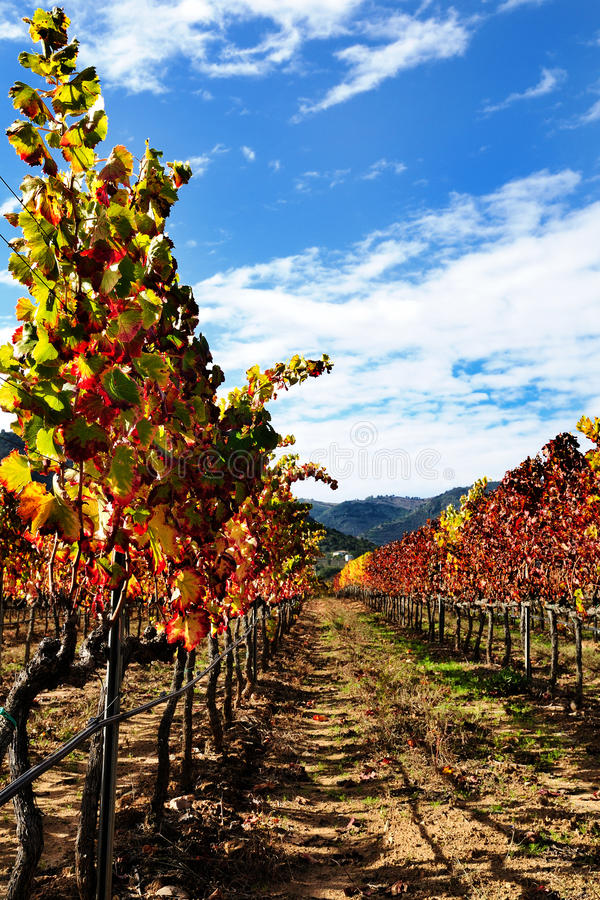The vine with the colors of autumn. Details of vineyards, rows of vines young and old with the colors of autumn royalty free stock images