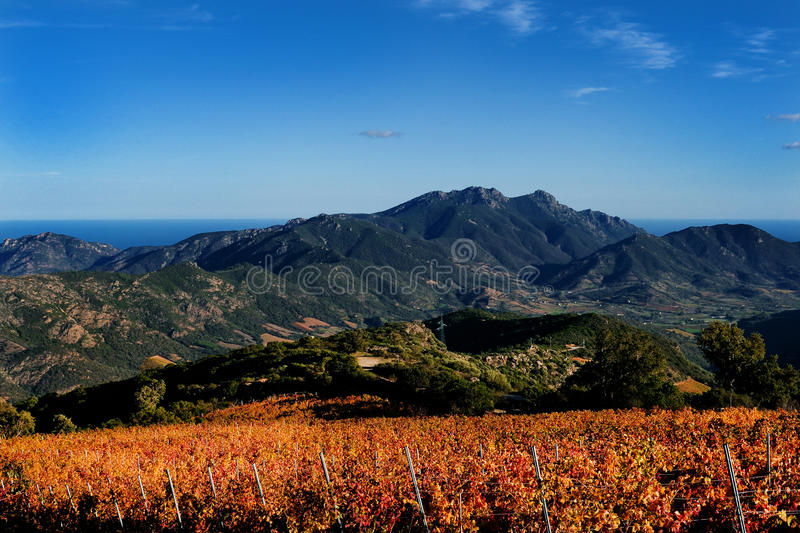 The vine with the colors of autumn. Details of vineyards, rows of vines young and old with the colors of autumn stock photo